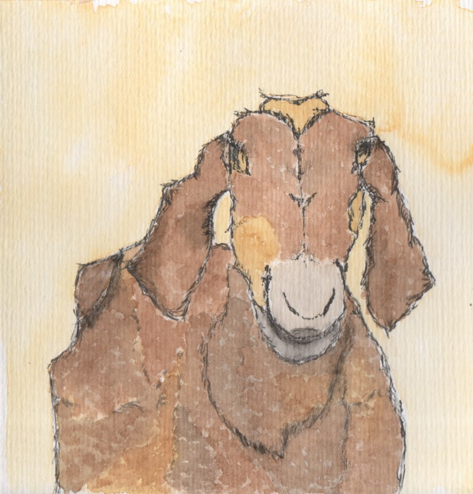 Small, black and tan goat