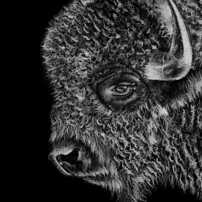 Close-up of a Buffalo head