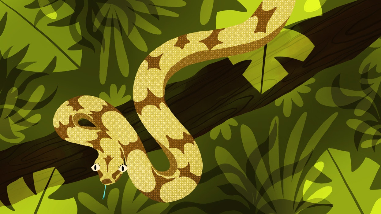 Boa Constrictor snake wrapped around a tree brach