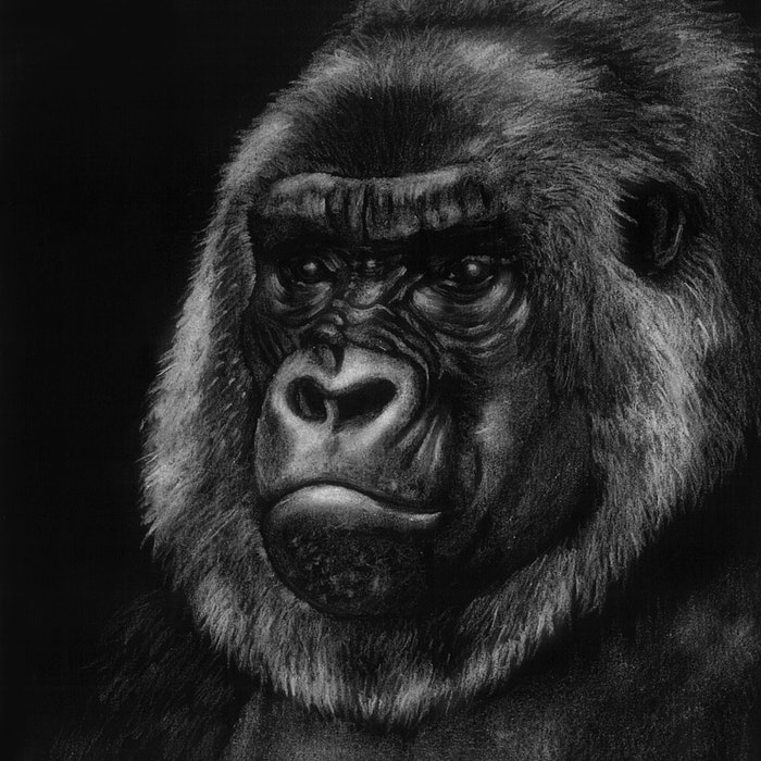 Large Mountain Gorilla
