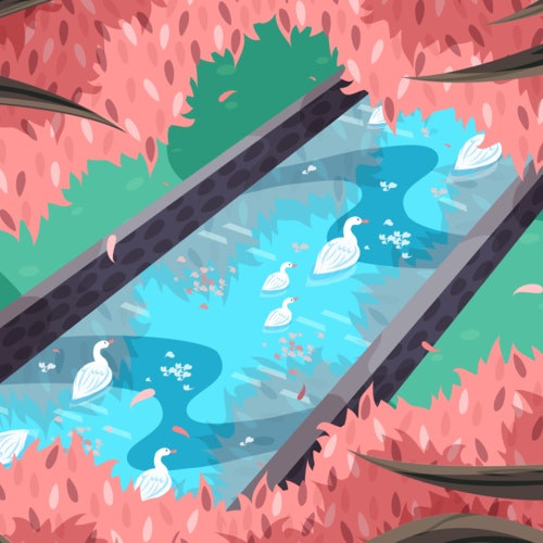 White ducks swimming in a pond below springtime cherry trees