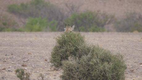 A baby giraffe eats from a tree on the savanna