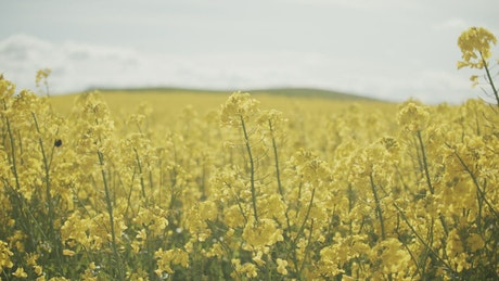 A bee in a field of yellow crops on a farm