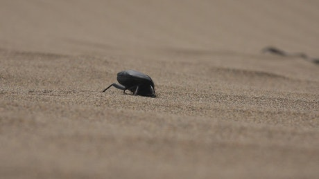 A beetle digging in the sand