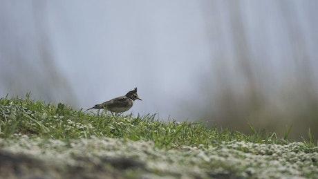 A bird walking in the grass