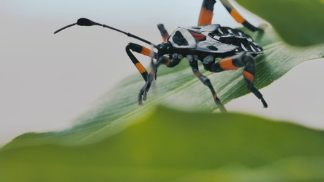 A black and orange bug Hemiptera on a green leaf closeup