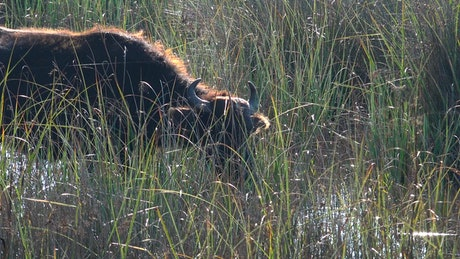 A Buffalo is drinking water in the swamp