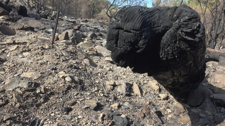 A burned black tree trunk in the forest ground