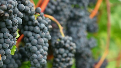 A cluster of grapes close up