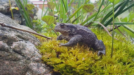 A Common toad on moss