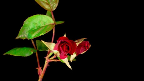 A couple of red roses on a branch opens
