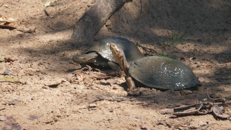 A couple of turtles resting in the sand