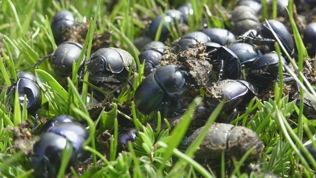 A crowd of beetles on the green grass