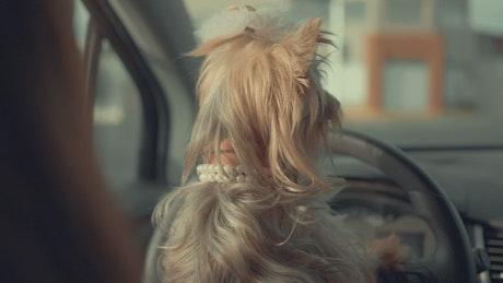 A cute dog inside a car looking around