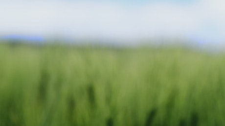 A field of wheat crops