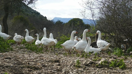 A fLock of gooses in the field