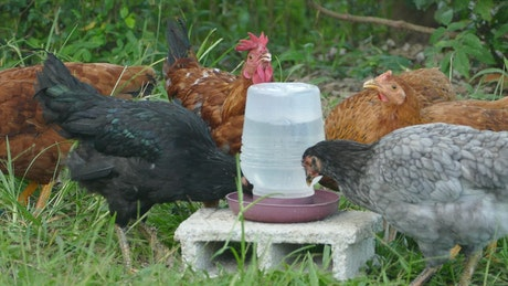 A group of chickens drinking water at the farm
