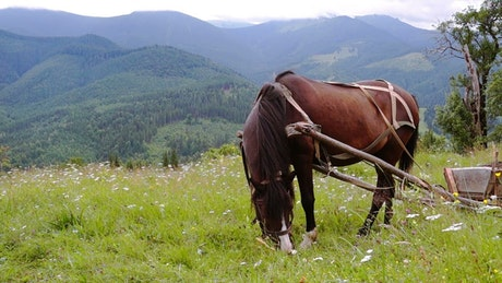 A harnessed horse grazing in the meadow