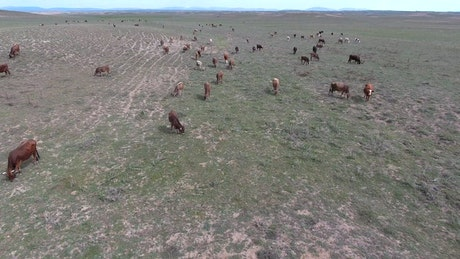 A heard of cows grazing in the plain