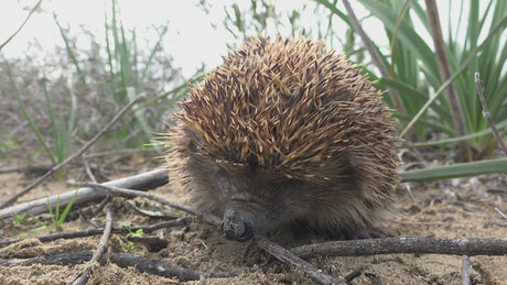 A hedgehog sniffing in the ground