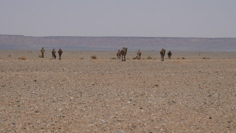 A herd of camels walking in the desert