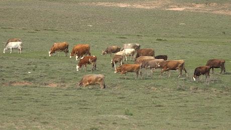 A herd of cows grazing in meadow