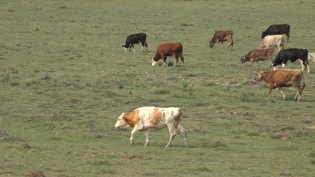 A herd of cows grazing in the grassland