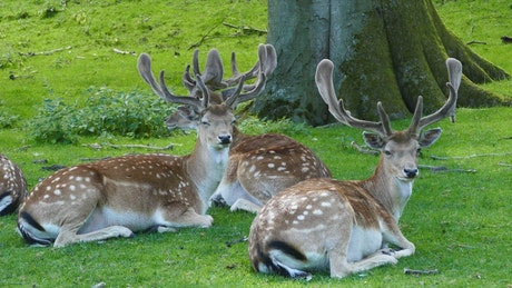 A herd of deers laying in the grass under a tree