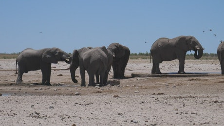 A herd of elephants around a tiny water hole