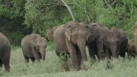 A herd of elephants grazing in the wild