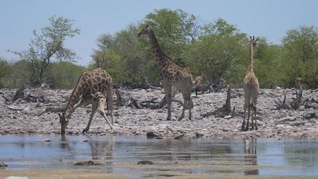 A herd of giraffe around a pond