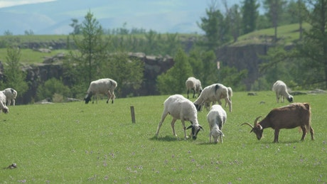 A herd of goats grazing in the plain