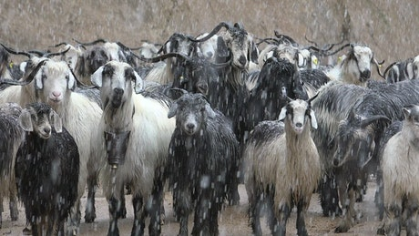 A herd of goats under a snowstorm