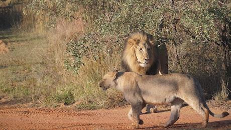 A herd of lions walking