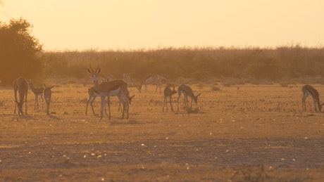 A herd of springbok during sunset