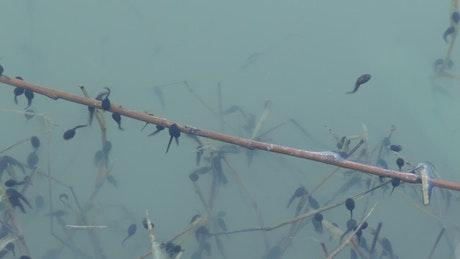 A herd of tadpoles in blue water