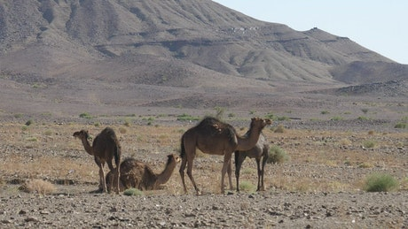 A herd of young camels walking in the sand