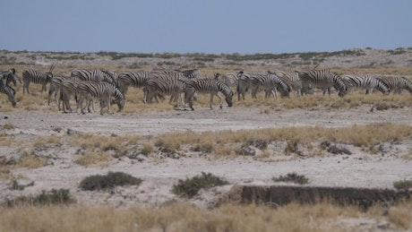 A herd of Zebras grazing under the sun