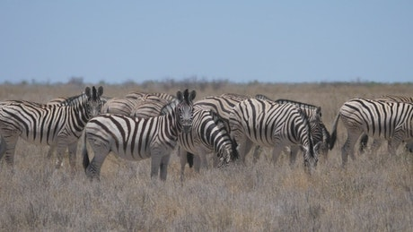 A herd of Zebras on a dry savanna
