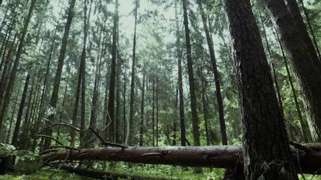 A man walking on a fallen tree