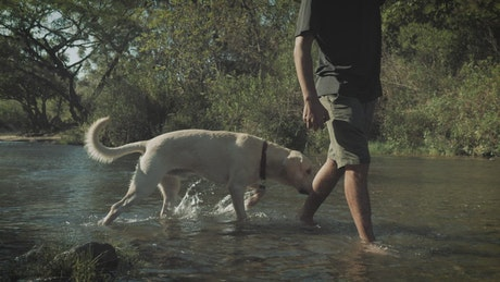 A man walks with his dog in a creek on a forest, low view