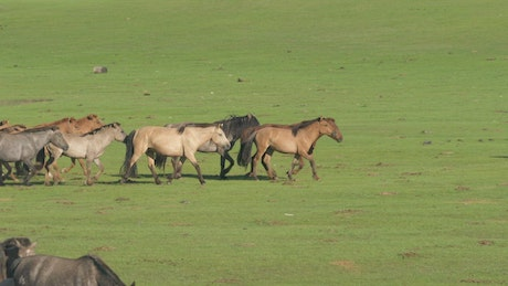A pack of wild horses running on a green plain
