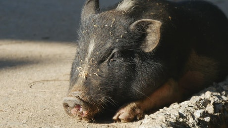 A pig resting on the street in the sun