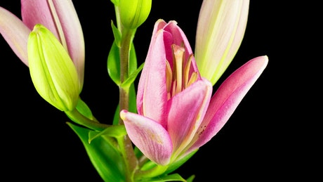 A pink lily flower opens