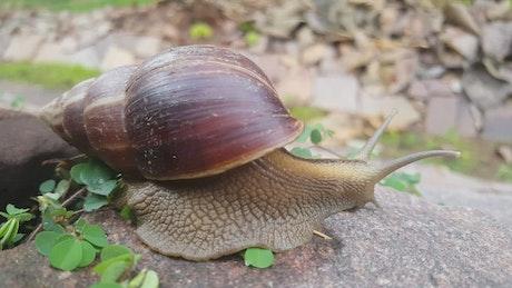 A Snail moving slowly on a rock