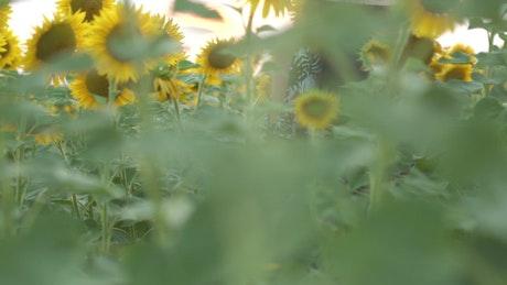 A woman standing in a sunflower field