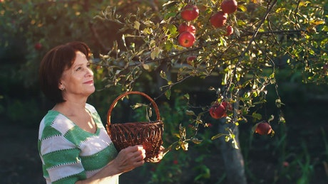 Adult woman taking apples from a tree in a garden