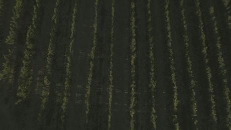 Aerial footage of a vineyard