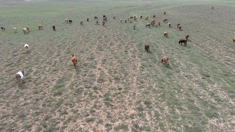 Aerial view of a herd of cows in the field