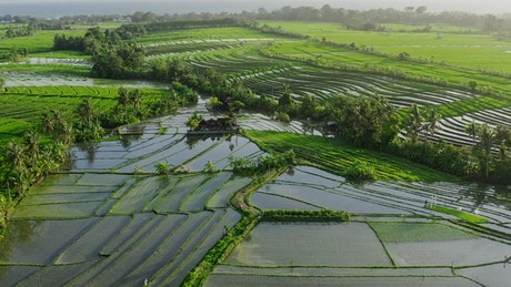 Aerial view of Indonesian rice paddy farms